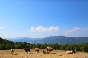 cattle on colorado range
